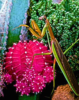 Chinese  Praying Mantis Walking Very Carefully On A Cactus Plant by Leslie Crotty