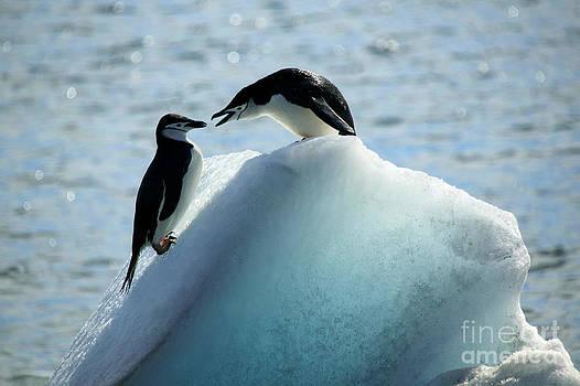Chinstrap penguins on iceberg by Rosemary Calvert