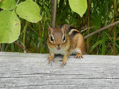 Chipmunk by Briella Danowski