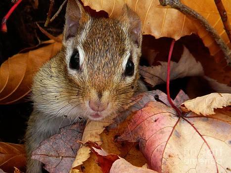 Christine Stack - Chipmunk in Autumn