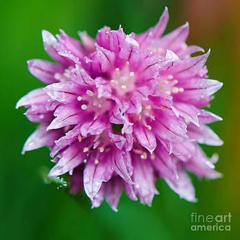 Nick  Biemans - Chive flower