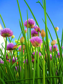 Chive flowers and buds by Jo Ann
