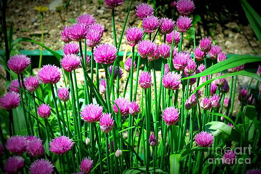 Chives by Christy Beal