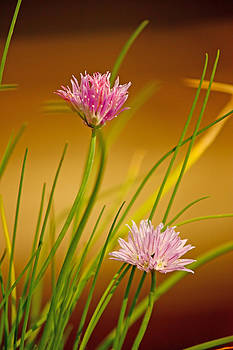 Chives flowers by Borislav Marinic
