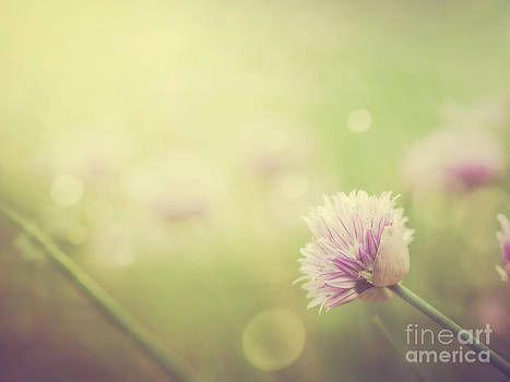 Mythja  Photography - Chives flowers