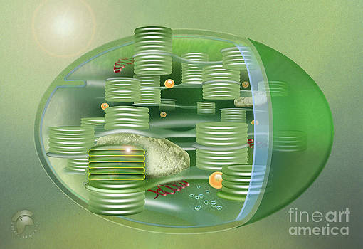 Chloroplast - Basis of Life - Plant Cell Biology - Chloroplasts Anatomy - Chloroplasts Structure by Urft Valley Art