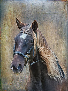 Chocolate Rocky Mountain Horse by Peter Lindsay