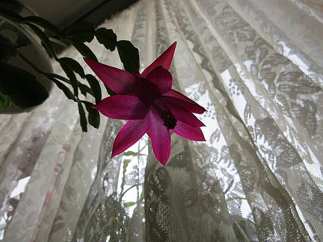Christmas Cactus Flower by Elisabeth Ann