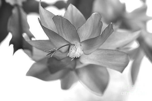 Wayne Nielsen - Christmas Cactus - Illuminated Bloom in Grayscale