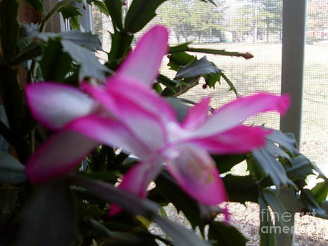 Christmas Cactus  by Vivian Cook
