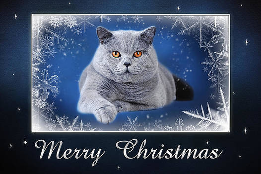 Waldek Dabrowski - Christmas card - British shorthair cat