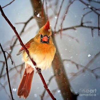 Northern Cardinal Snow Scene by Nava Thompson