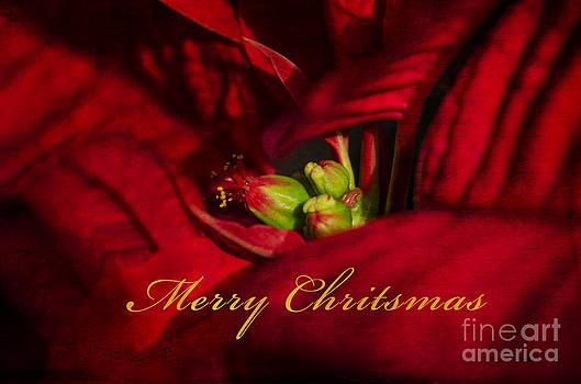 Christmas Poinsettia by Nicole Markmann Nelson