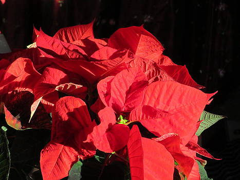 Christmas Red Poinsettia by Elisabeth Ann