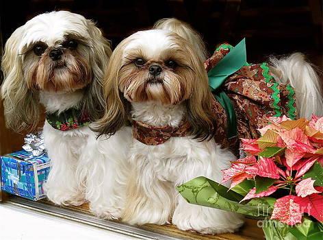 Christmas Shih Tzu's by Melinda Saminski