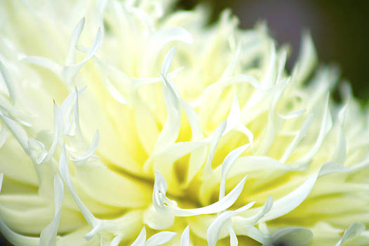 Chrysanthemum by Danielle Allard