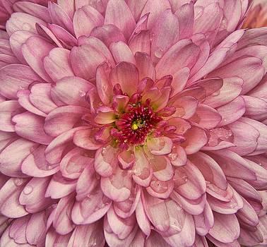 Chrysanthemum by Esther Branderhorst