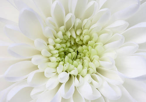 White Chrysanthemum  by Gillian Dernie