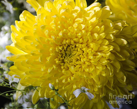 Pravine Chester - Chrysanthemum in Bloom