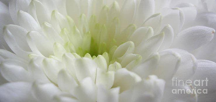 Chrysanthemum in White by Malcolm Suttle