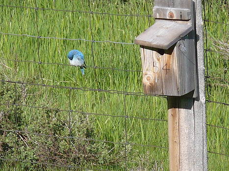 Jeffrey Randolph - Chubby Bluebird