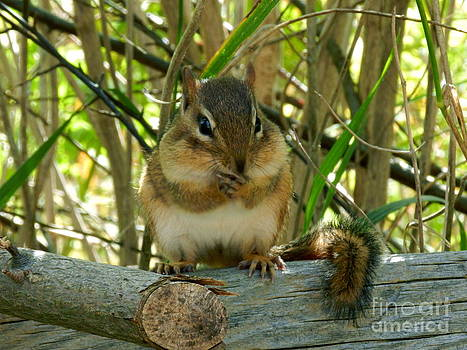 Chubby Cheeked Chipmunk by Briella Danowski