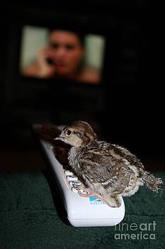 Chukar baby VS Television  by Rebecca Christine Cardenas