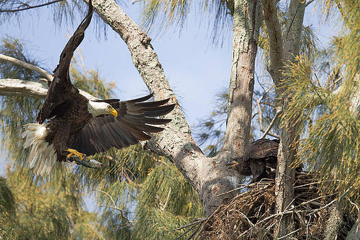Bald Eagle Nest by Doug McPherson