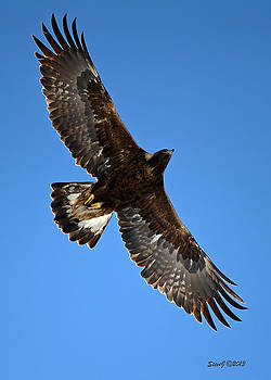 Circling Golden Eagle by Stephen  Johnson