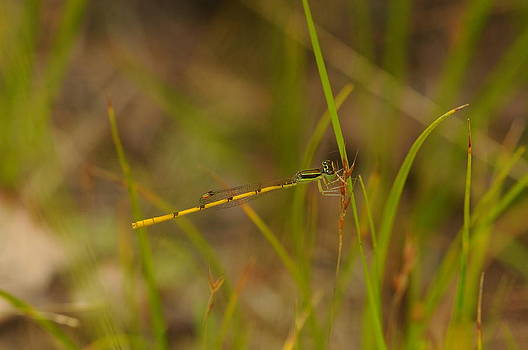 Citrine Forktail Damselfly by Dick Todd