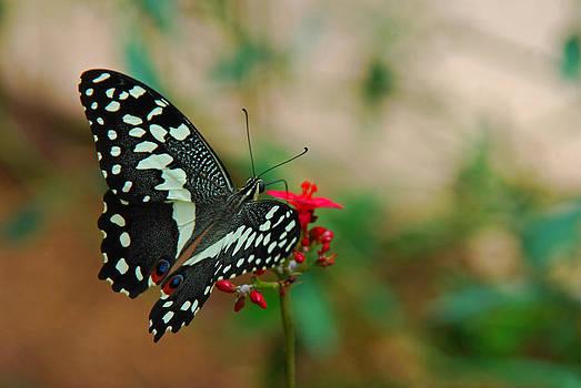 Tam Ryan - Citrus Butterfly
