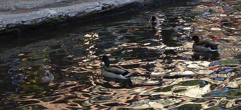 City Ducks 2  by Shawn Marlow