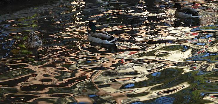 City Ducks 3 by Shawn Marlow