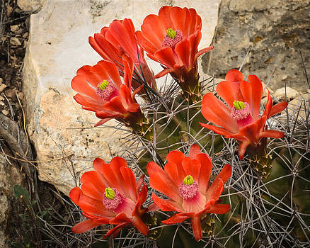 Claret Cups by Thomas Pettengill