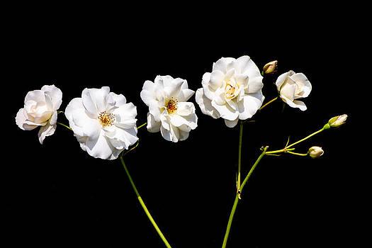 Classic and minimalist white roses on black by Matthias Hauser