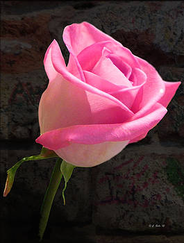 Classic Pink Rose by Ceci Bahr