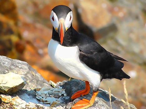 Classic Puffin by Jim Hart