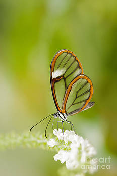 Oscar Gutierrez - Clear Wing Butterfly on White Flower