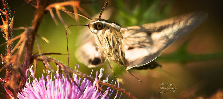 Clear-winged Hummingbird Moth by Stanley Lupo