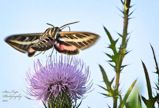 Clear-winged Hummingbird Moth2 by Stanley Lupo