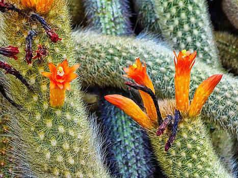 Cleistocactus Winteri  by Nelin Reisman