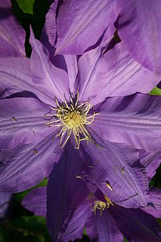 Nina Fosdick - Clematis Bloom