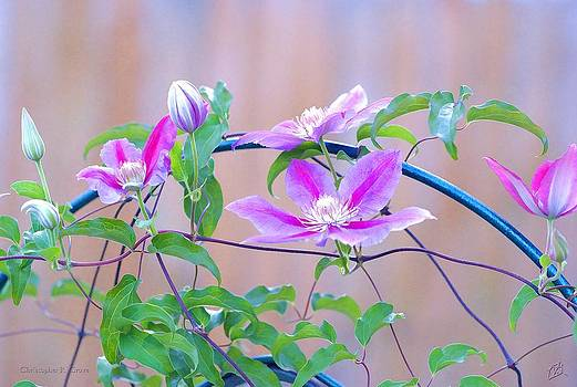 Clematis by Christopher Grove