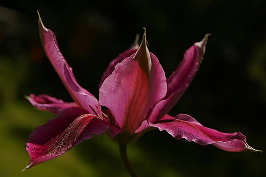 Clematis flower by Susan Leake