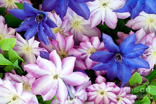 William H Mullins - Clematis Flowers