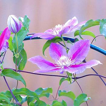 Clematis II by Christopher Grove