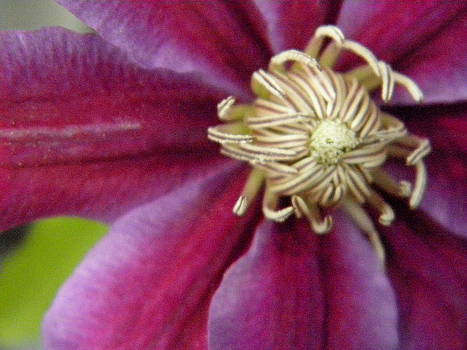 Clematis by Marijo Fasano
