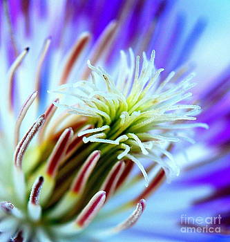 Clematis Stamen by Christy Phillips