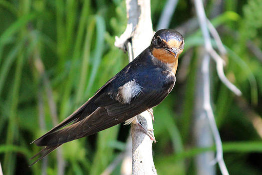 Cliff Swallow by Gerald Murray Photography