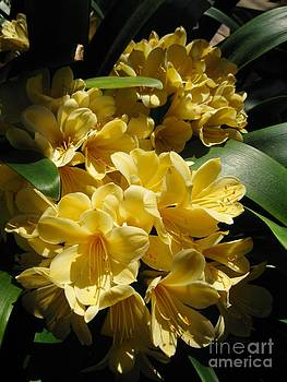 Clivia Miniata Aurea Yellow African Flower by Claudia Ellis